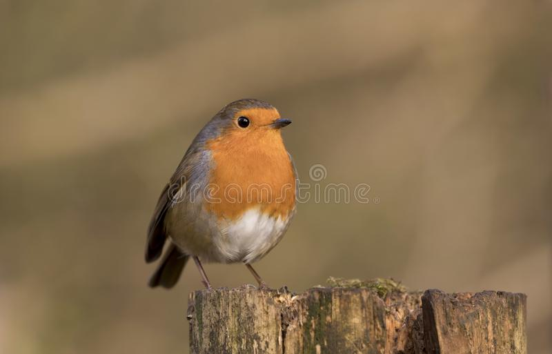 Robin redbreast bird, erithacus rubecula perched on a branch stock photo