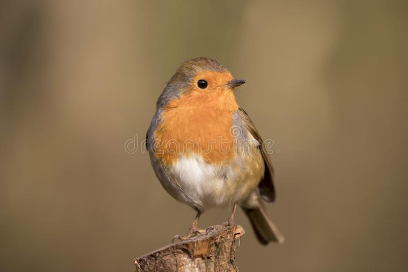 Robin redbreast bird, erithacus rubecula perched on a branch royalty free stock photo