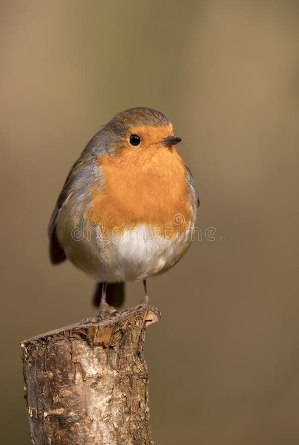 Robin redbreast bird, erithacus rubecula perched on a branch royalty free stock image