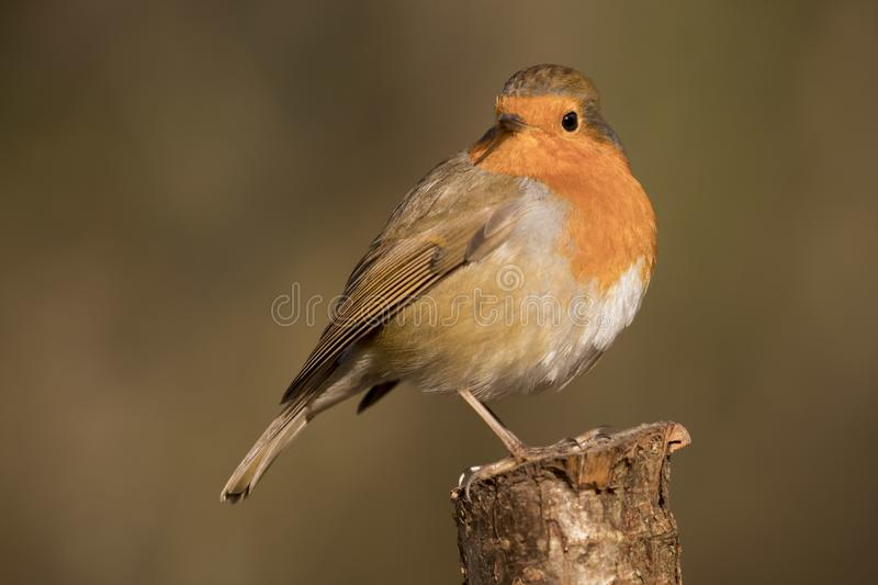 Robin redbreast bird, erithacus rubecula perched on a branch stock photography