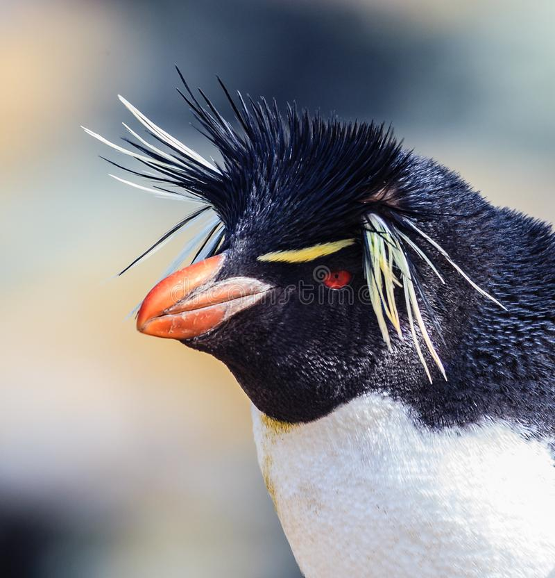 Close up of rock hopper penguin with bright yellow spiky feathers. On Falkland Islands stock image