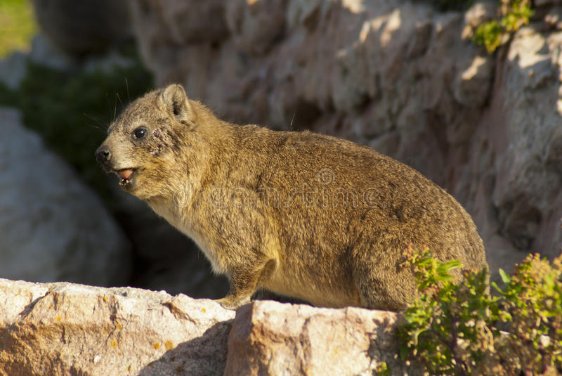 Close-up of Rock Hyrax stock photography