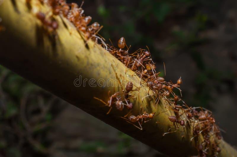 Close-up rode mieren op boom royalty-vrije stock foto's