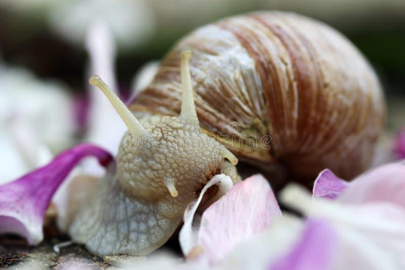 Close-up of a Roman snail eating a petal royalty free stock photo