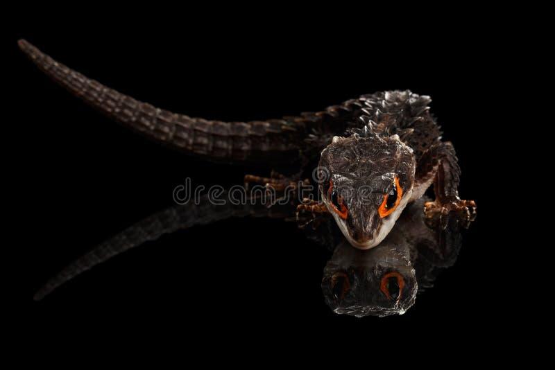 Close-up rood-Eyed krokodil skink, gracilis tribolonotus, geïsoleerd op Zwarte royalty-vrije stock foto's
