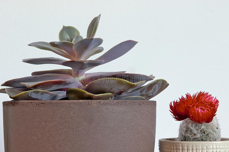 Close up of room plants. Desert rose succulent and cactus with red bloom royalty free stock photo