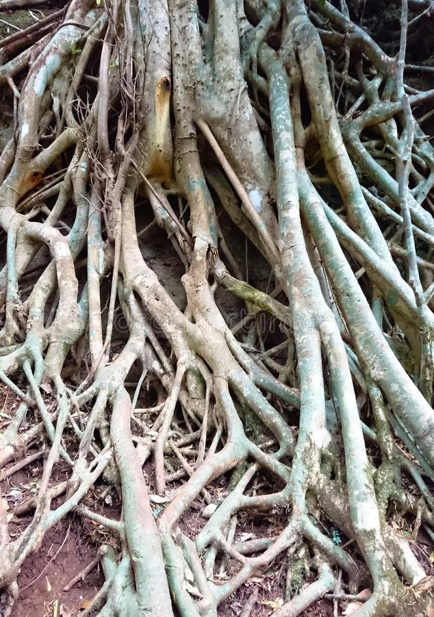 Close up of roots of a tree. As a background image or wallpaper picture stock photography