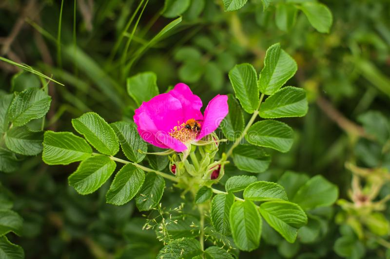 Close up Rosa canina fresh pink flower in green garden. Rosehip dog rose flower with bee inside it royalty free stock images