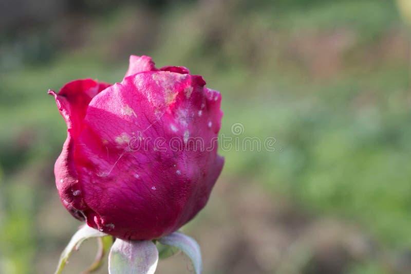 Close-up Rosa cor-de-rosa idosa imagens de stock royalty free