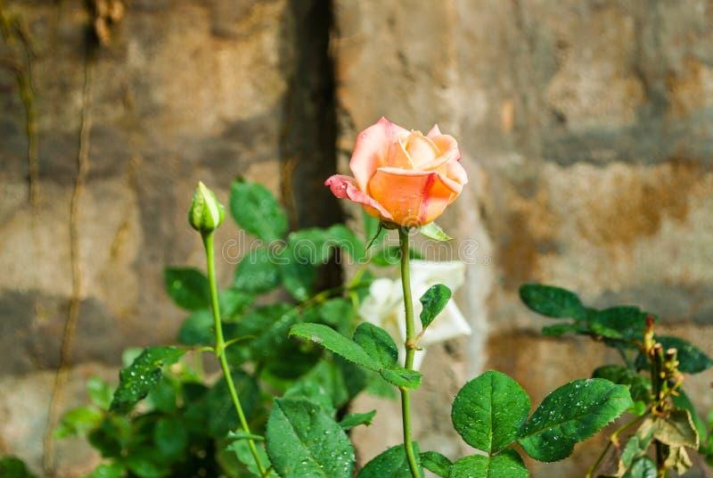 Close-up a Rosa cor-de-rosa alaranjada foto de stock