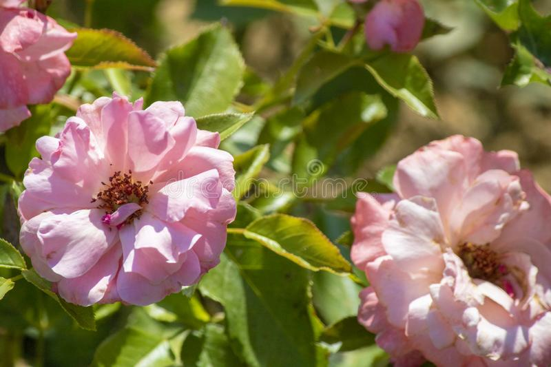 Close-up of the Rosa gallica plant. In pink. The flowers on the right have begun to dry stock images