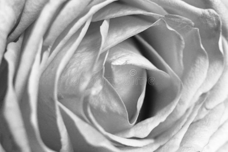 Close up of a rose, black and white stock photo
