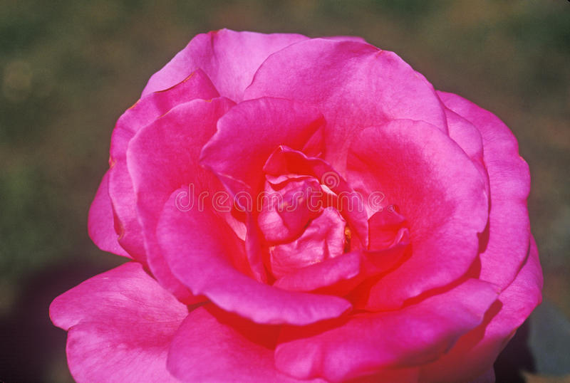 Close up of rose in bloom, Tampa, FL stock photos