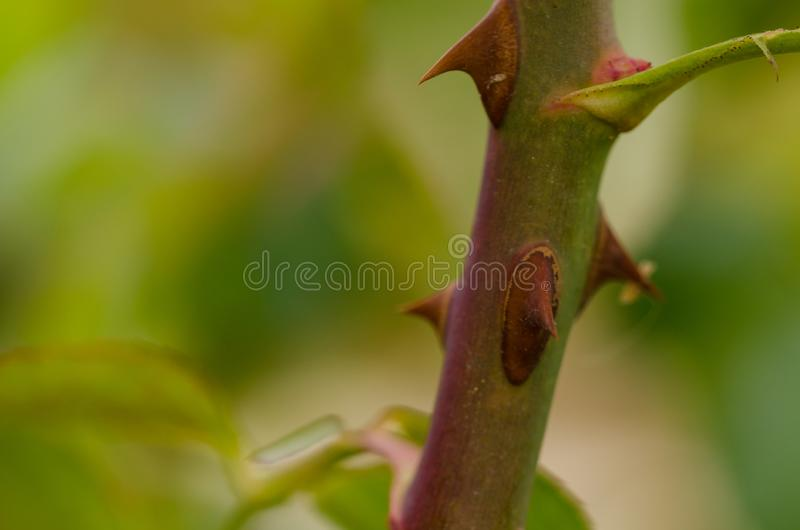 Close up of a rose stem with sharp thorns and green leaves. stock photo