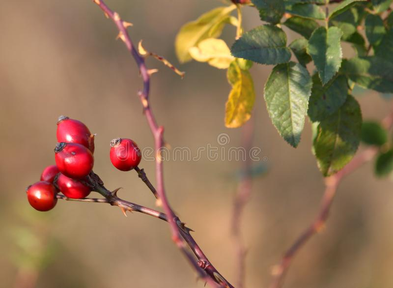 Rosehip Berries in a Garden royalty free stock photography