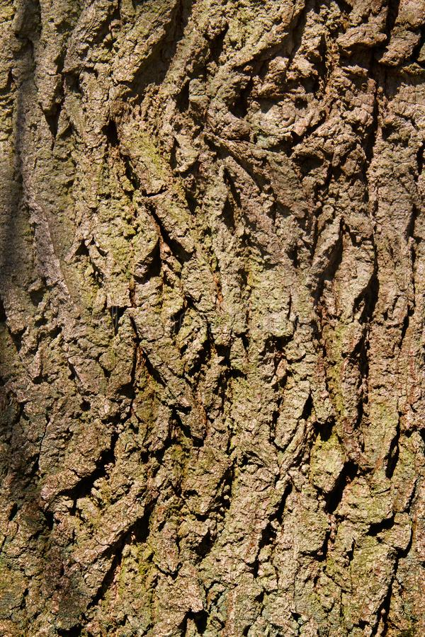 Bark of Oak tree. Close-up of the rough brown-green bark an Oak tree stock photography