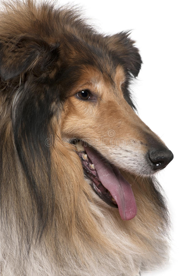 Close-up of Rough collie with tongue out
