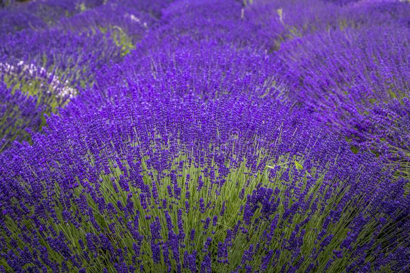 Blooming lavender fields in Pacific Northwest USA. Close up of row of purple lavender plants in a lavender field in bloom royalty free stock image