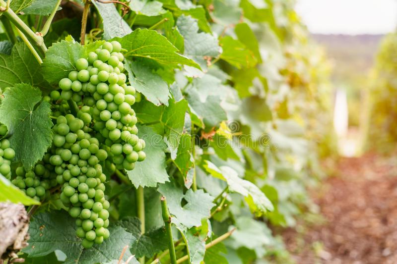 Close up row vine green grape in champagne vineyards at montagne de reims on countryside village background royalty free stock photo