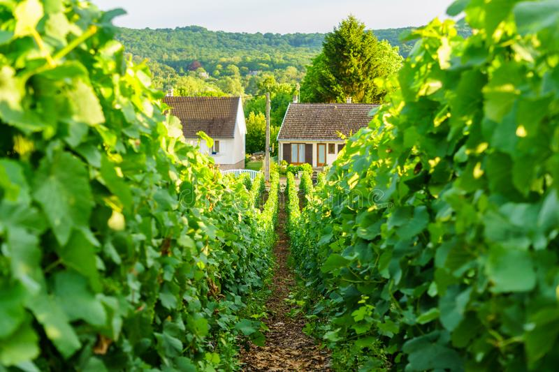 Close up row vine green grape in champagne vineyards at montagne de reims on countryside village background stock images