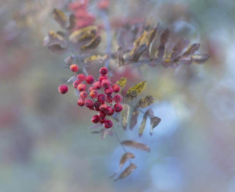 Close up of rowan berries in tree on sunny day in autumn stock photos
