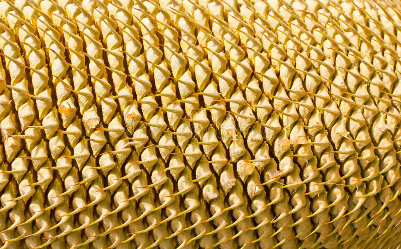 Close-up rows of cycad cone. Background stock photography