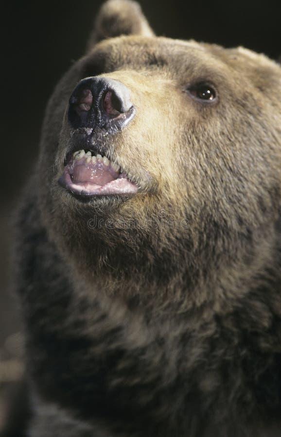 Close-up rujir do urso pardo imagens de stock royalty free