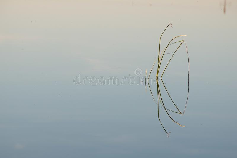 Close-up of a rush with its reflection on water in Albufera lagoon, in Natural Park of Albufera, Valencia, Spain.  royalty free stock image