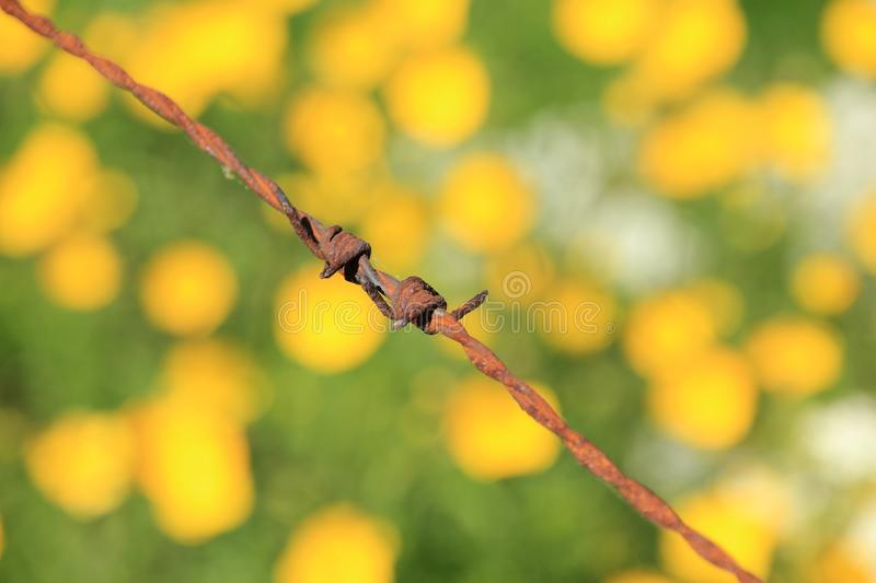 Close-up from a rusty barbed wire and a field with blooming buttercups and cow parsley in spring. royalty free stock photography