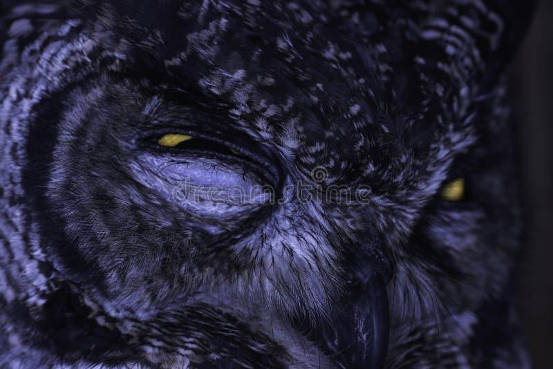 Close-up sério manchado do brilho do africanus do bubão da Eagle-coruja fotografia de stock royalty free