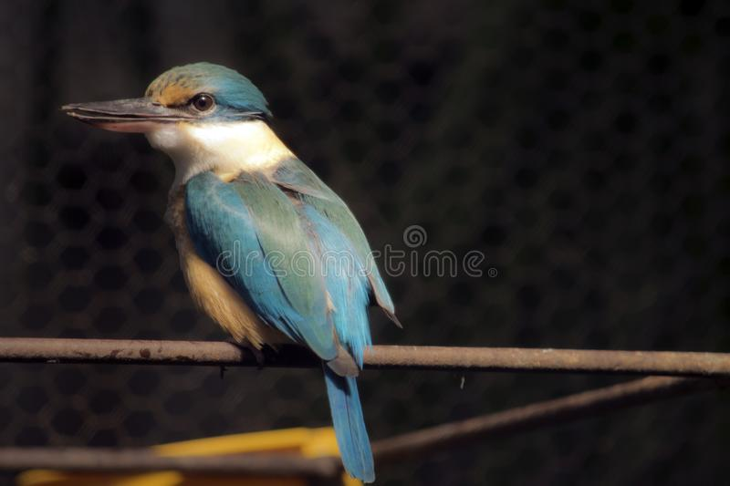 Sacred kingfisher royalty free stock photo