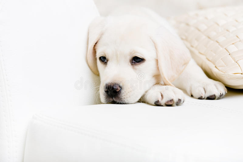 Close up of sad labrador puppy on the sofa with the pillow royalty free stock image