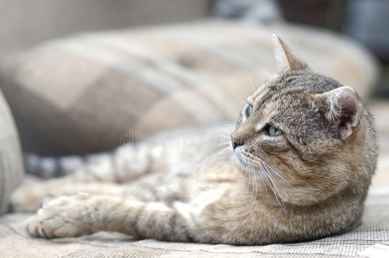 Close up of a sad and lazy tabby cat napping on the couch outdoors in evening. With selective focus. Domestic pet rest on soft sofa stock photo