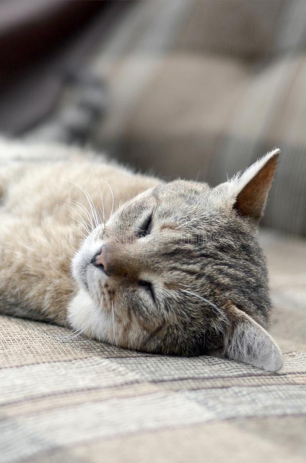Close up of a sad and lazy tabby cat napping on the couch outdoors in evening. With selective focus. Domestic pet rest on soft sofa royalty free stock photography