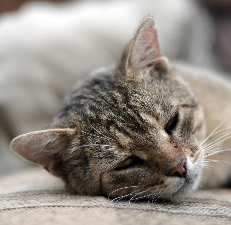 Close up of a sad and lazy tabby cat napping on the couch outdoors in evening. With selective focus. Domestic pet rest on soft sofa stock photos