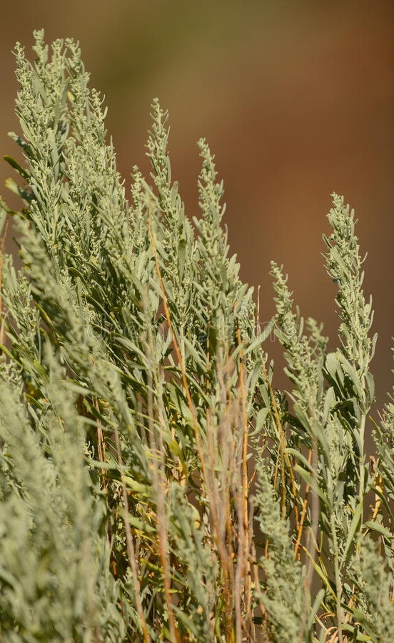 Close up of sage brush plant in desert stock photography