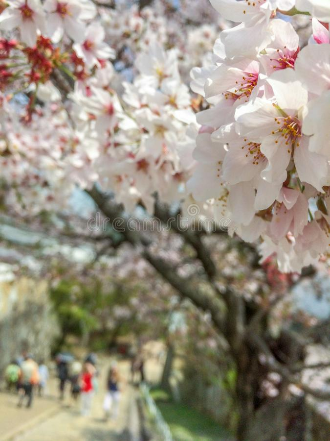 Close up of sakura cherry blossom on blurred background royalty free stock photos