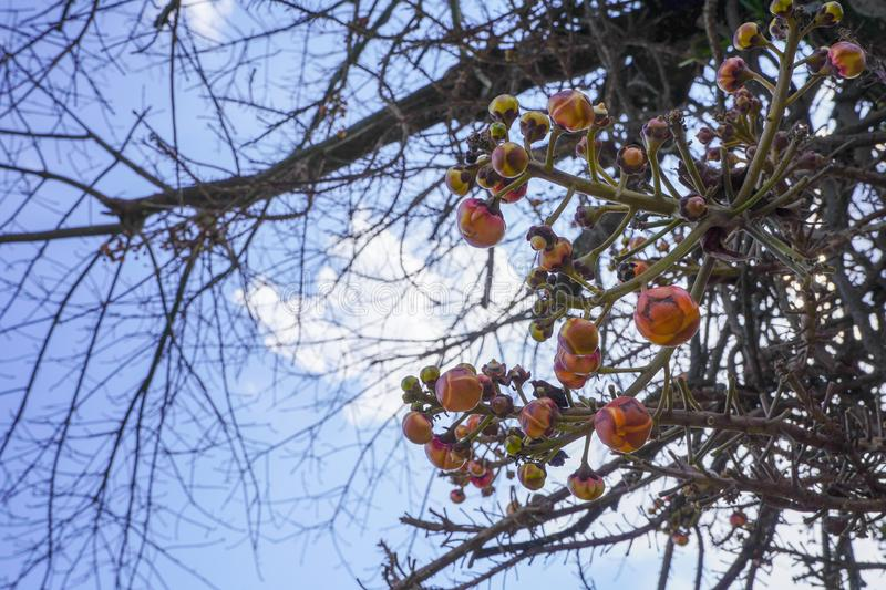Close up sala tree fruit at the branches stock photo