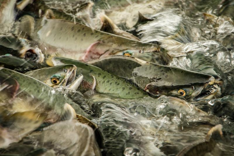 Close up of salmon run in south Alaska around Prince William Sound royalty free stock images