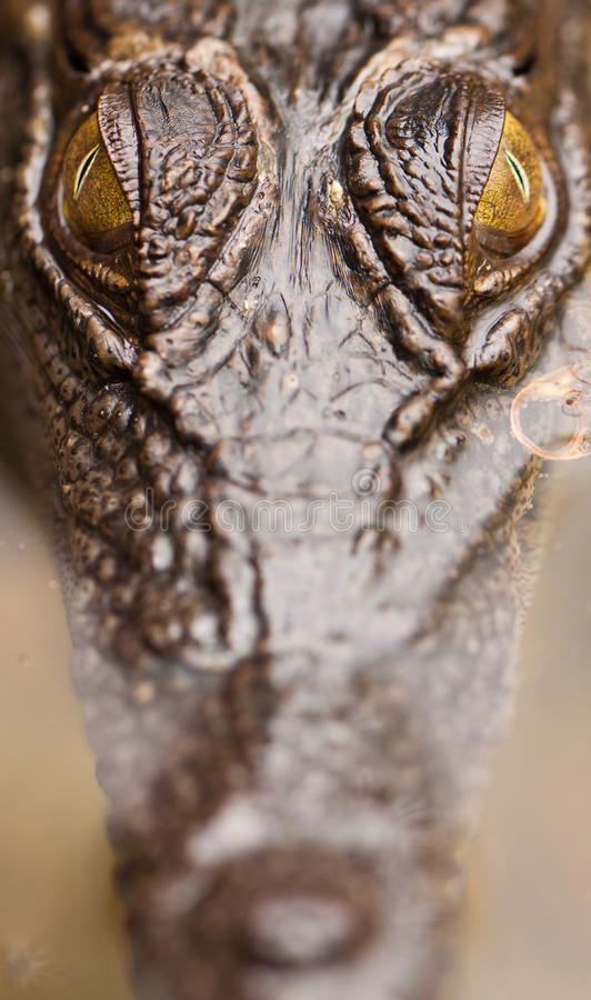 Close-up of salt water crocodile stock images