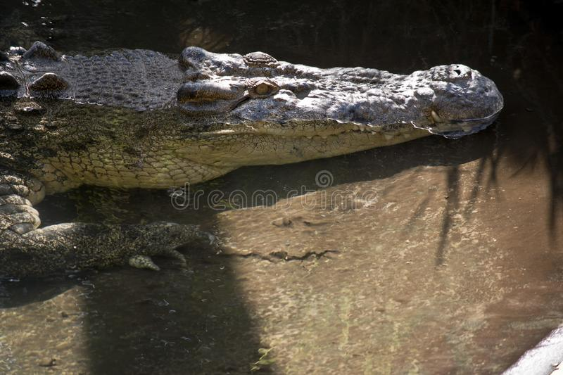Salt water crocodile. This is a close up of a salt water crocodile stock photos