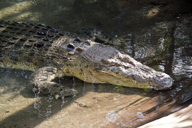 Salt water crocodile. This is a close up of a salt water crocodile stock photography