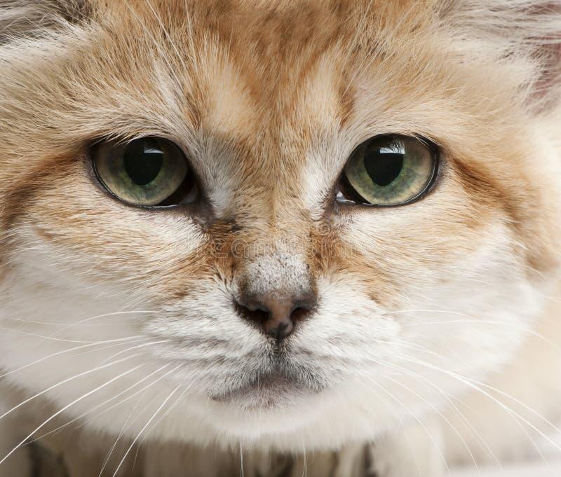 Close-up of Sand cat, Felis margarita. 17 years old stock photos