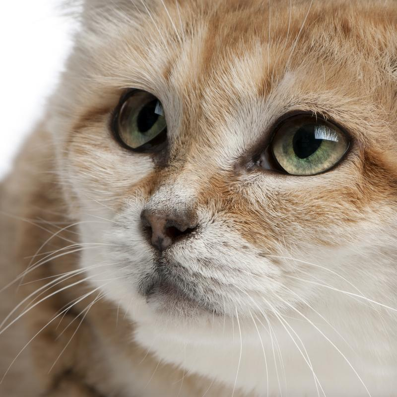Close-up of Sand cat, Felis margarita, 17 years old. In front of white background royalty free stock photo