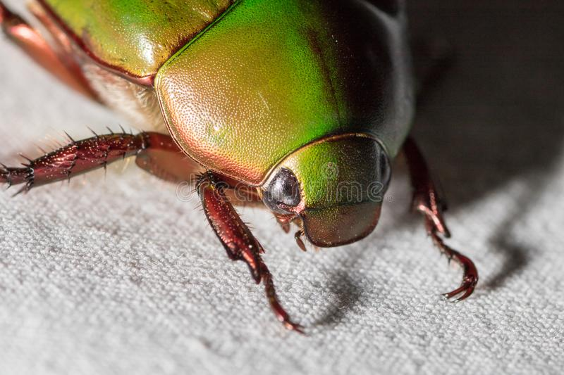 Close-up Scarab beetle green little bug royalty free stock image