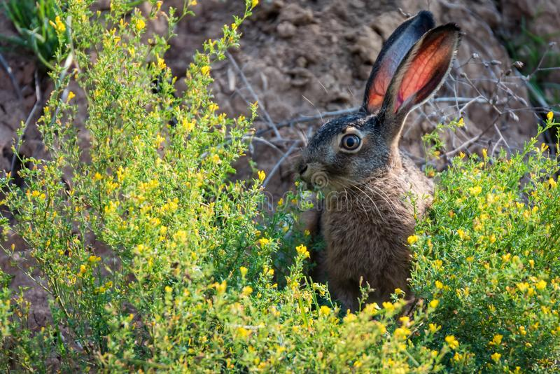 Close up scared European hare or Lepus europaeus in nature. Close-up lovely European hare or Lepus europaeus hiding in grass with alert expression royalty free stock images