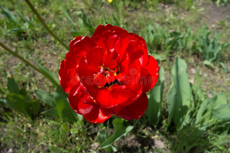 Close up of scarlet double tulip flower royalty free stock photos