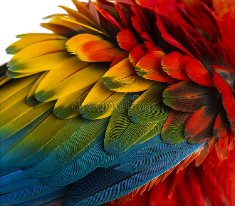 Close-up on a Scarlet Macaw feathers (4 years old) isolated on w stock image