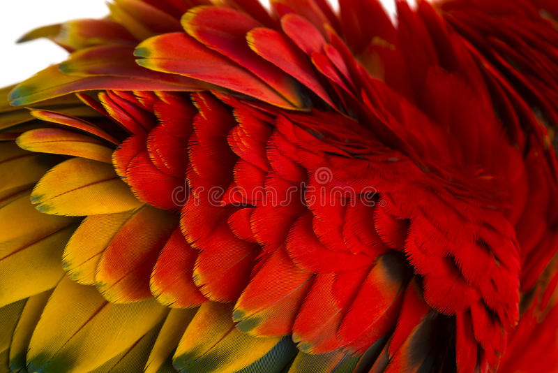 Close-up on a Scarlet Macaw feathers (4 years old) isolated on w stock photos