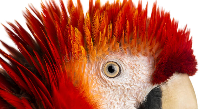 Close-up on a Scarlet Macaw's eye (4 years old) isolated on whit royalty free stock photo